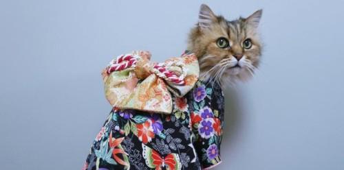 Katten in Kimono's uit Japan