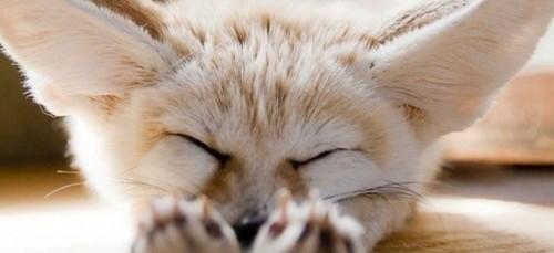 Wij willen deze Fennec Hare als huisdier