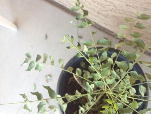 bleke plant