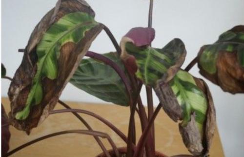 bruine plant