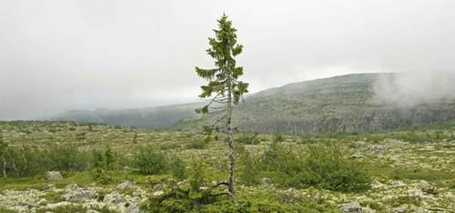 Aha, dus zo ziet de oudste boom ter wereld eruit!