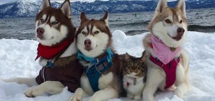 Husky redt kitten van de dood en zijn sindsdien onafscheidelijk