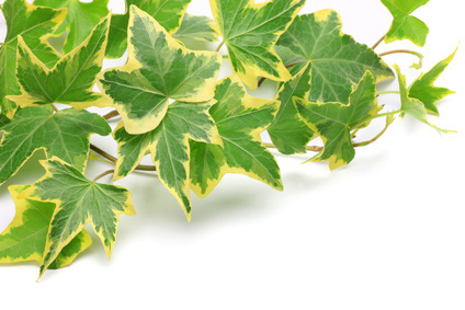 english-ivy-leaves
