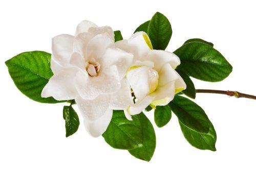 White Gardenia Blossom