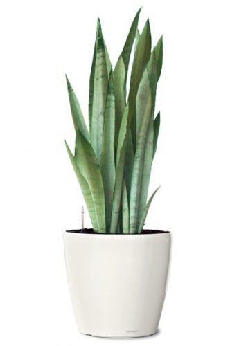 silver-queen-snake-plant-small-ornamental-plant-sanseveria-silver-queen-realornamentals.com-web