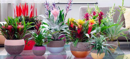 De ananasplant en andere exemplaren uit de tropische plantenfa...