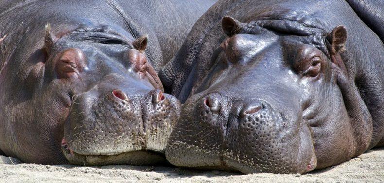 Het beste begin van je week; deze schattige nijlpaardjes