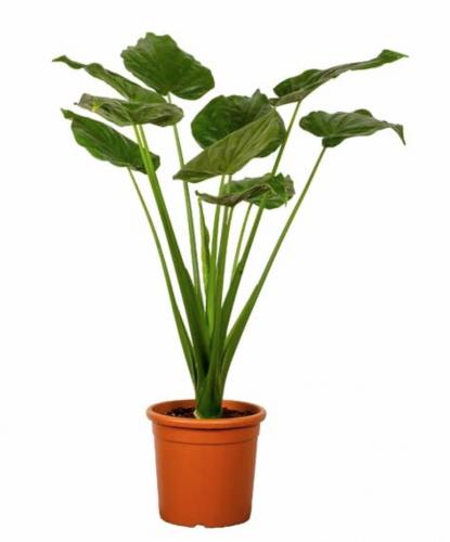 Deze 5 grote planten wil je in huis enfait for Grote kamerplanten