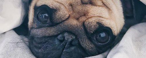 Er is nu een mopshonden café in Londen: Pugs & Pals