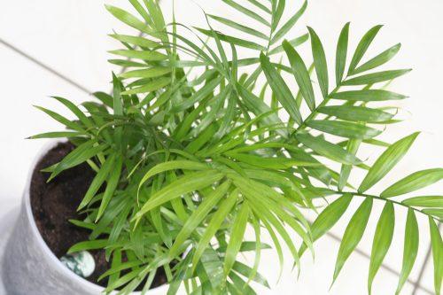 Slaapkamerplant Areca palm