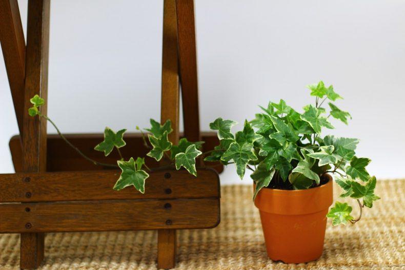 Slaapkamerplant Klimop