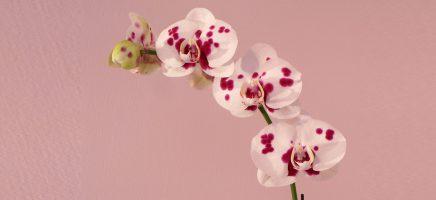 Orchideeën in december voor meer sfeer in huis