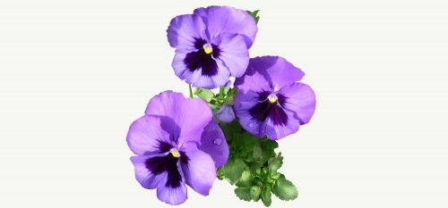 Maak je eigen: viooltjes siroop