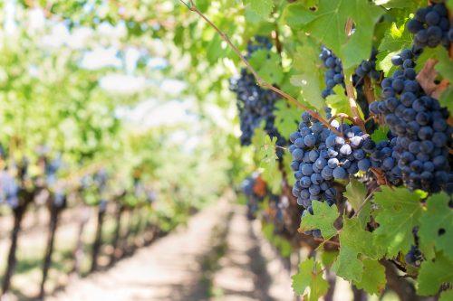 wijngaard nederland